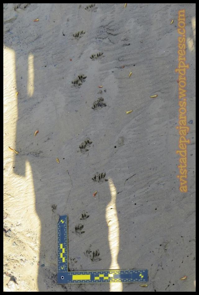 Huellas de ratas ¿de agua, parda? muy difíciles de diferenciar... (31-3-2013)