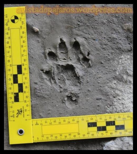 Huella con los cinco dedos y el talón (18-3-2013)