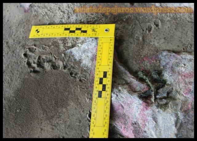 Cagada de nutria a la derecha y huella a lña izquierda (18-3-2013)