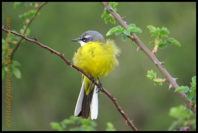 el amarillo de este ave destaca sobre todo lo demás (11-4-2013)
