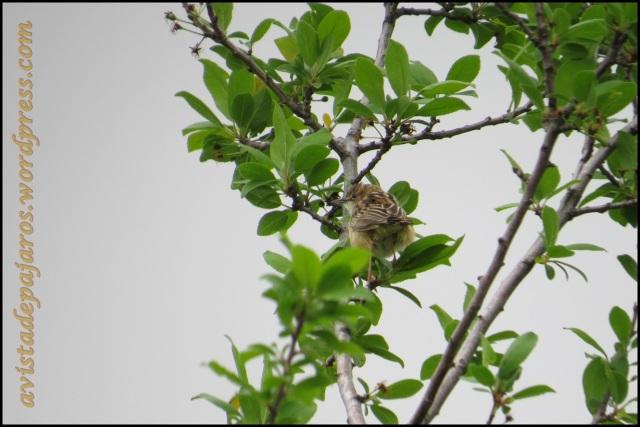 Ejemplar de buitrón sobre un árbol (26-4-2013)