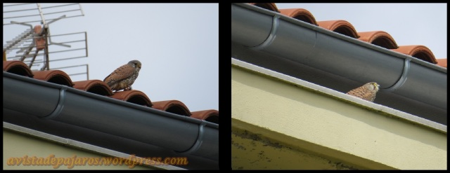 Pareja de cernícalos; macho a la izquiera y hembra a la derecha (28-4-2013)