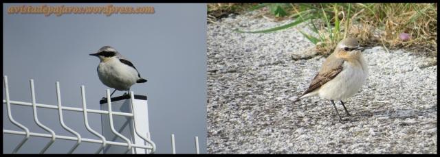 Collalbas; macho a la izquierda y hembra a la derecha (27-4-2013)