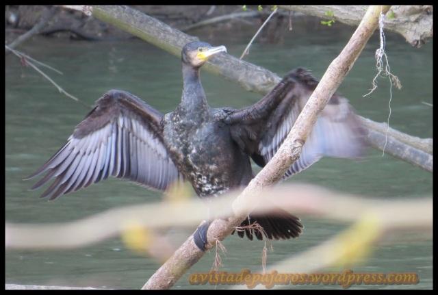 Cormorán sacudiéndose las alas para secarse (12-4-2013)