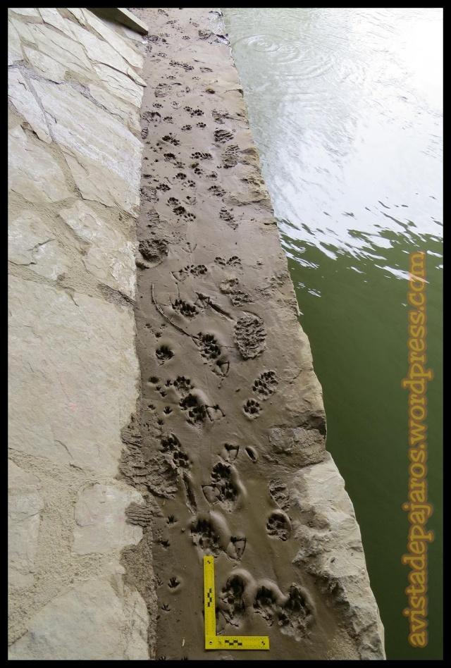 Vista general, todas las huellas que se ven son de nutria (1-4-2013)