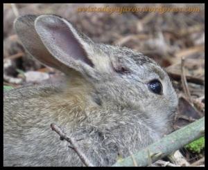 Herida del conejo, tenía una a cada lado (11-4-2013)