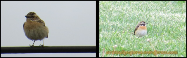 Tarabillas norteñas (hembra a la izquierda, macho a la derecha) (26-4-2013)