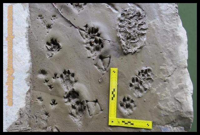 Entre las huellas de nutria se llegaba a apreciar el rastro que el animal movía al rozar con la cola en el suelo (1-4-2013)
