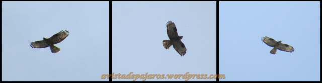 Varias fotos de abejero europeo que sobrevolaba el Parque (6-5-2013)