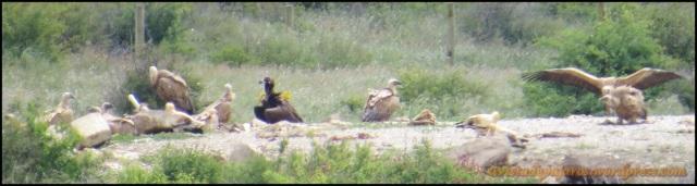 Uno de los buitres negros entre buitres leonados y alimoches (28-5-2013)