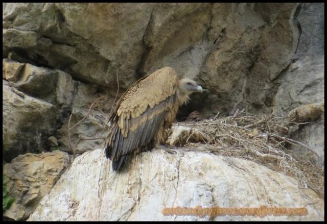 Buitre posado al lado de su nido (28-5-2013)