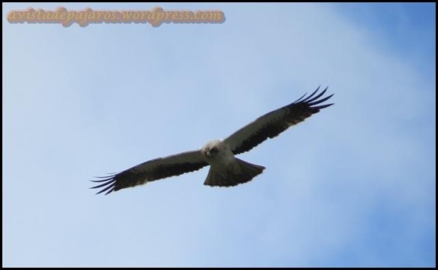 Águila calzada en vuelo (19-5-2013)