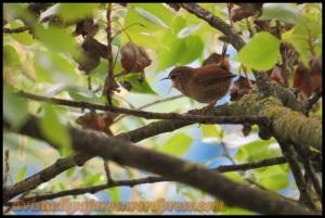 Chochín que cantaba entre ramas y hojas (1-5-2013)
