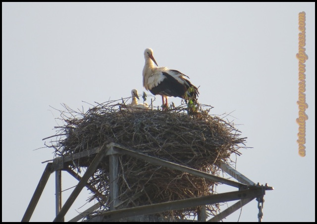 El nido con un pollo asomando (20-5-2013)