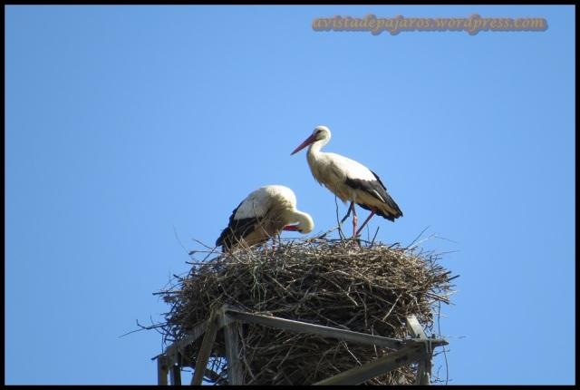 Pareja de cigüeñas en el nido... ¿Qué tendrán a estas alturas? (6-5-2013)