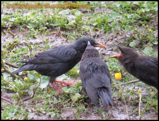 Los pollos no paran de reclamar comida a los padres (18-5-2013)