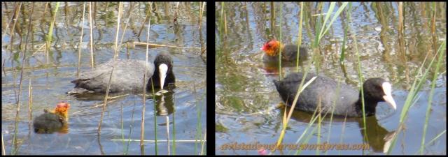 Focha adulta con su pollo (28-5-2013)
