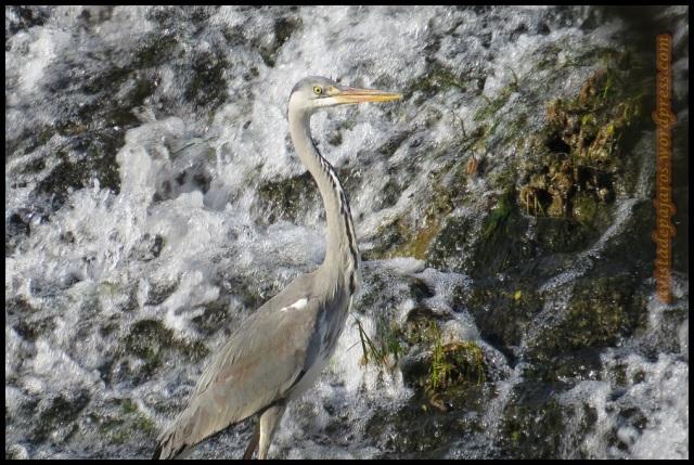 La garza en la presa de Santa Engracia (6-5-2013)
