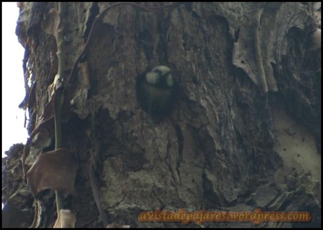 Herrerillo saliendo del nido (21-5-2013)