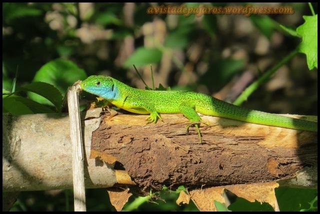Lagarto verde (6-5-2013)