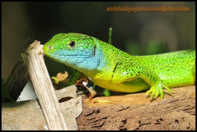 Retrato del lagarto (6-5-2013)