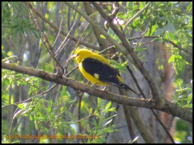 Macho de oropéndola y su vistoso plumaje (6-5-2013)