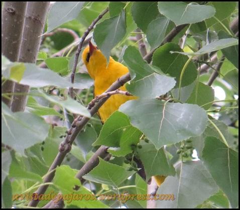 Llamativo macho de oropéndola entre hojas (23-5-2013)