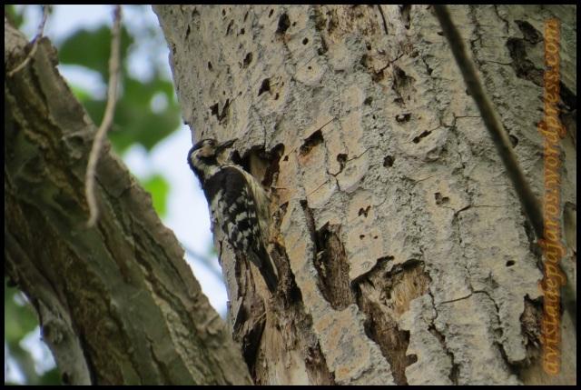 La hembra de pico menor acudía al nido con frecuencia con gusanos en el pico (14-5-2013)