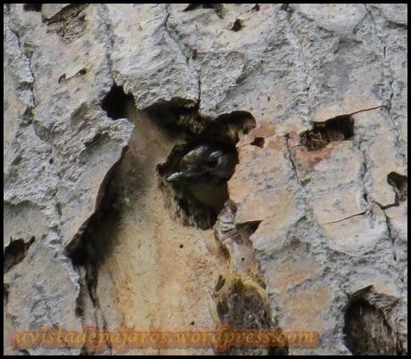 Pico menor adulto asomando en el nido (19-5-2013)