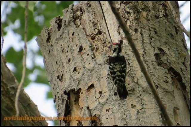 El macho de pico menor también suministraba a sus pollos (14-5-2013)