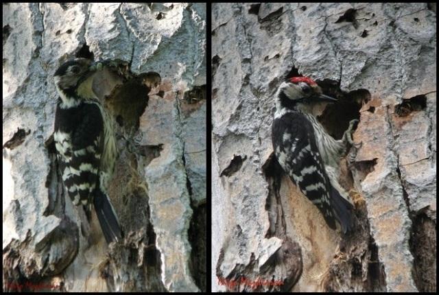 Pico menor; hembra a la izquierda y macho a la derecha (23-5-2013)