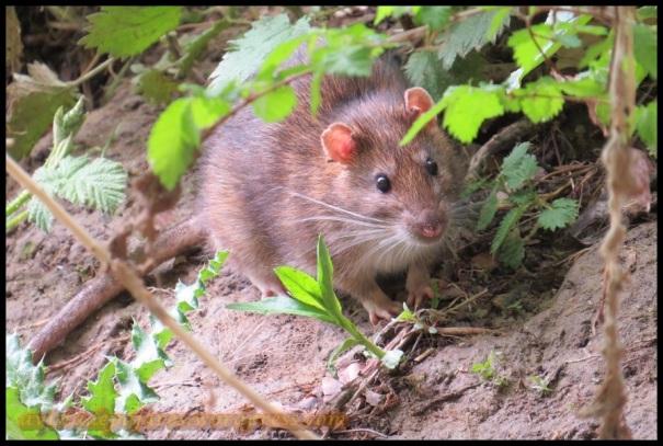 Rata parda entre la vegetación (1-5-2013)