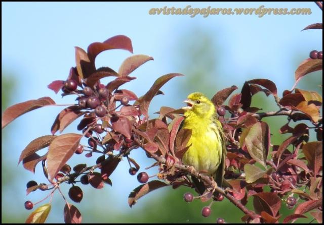 Verdecillo cantando (26-5-2013)