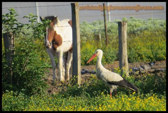 Cigüeña en el campo junto a un caballo (5-6-2013)