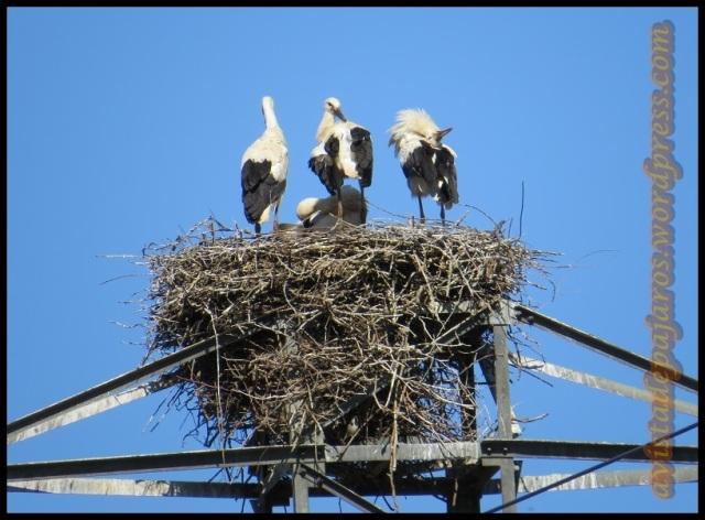 En lo alto del nido no para el movimiento de las cigüeñas (22-6-2013)