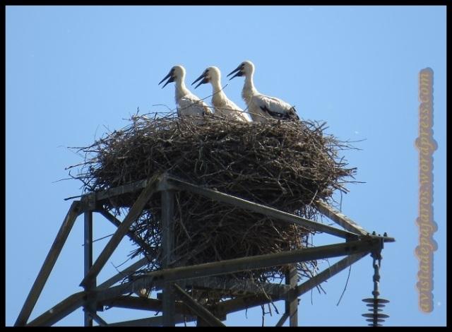 Los pollos continúan en el nido. Poco les quedará... (12-6-2013)