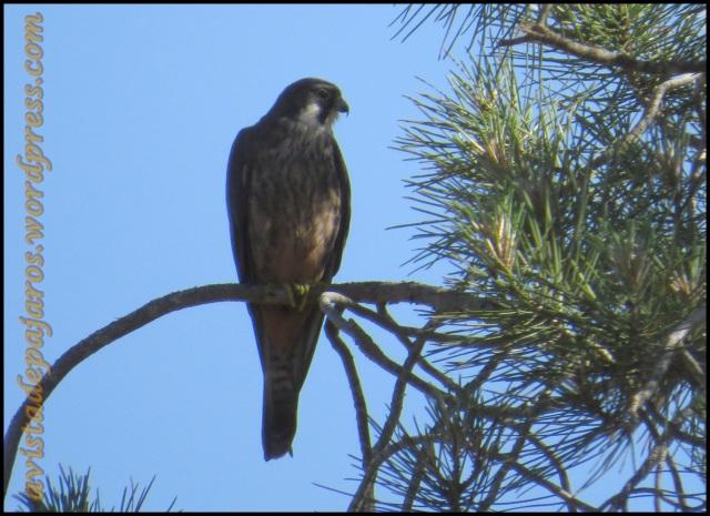 Halcón posado en la rama de un pino (29-6-2013)