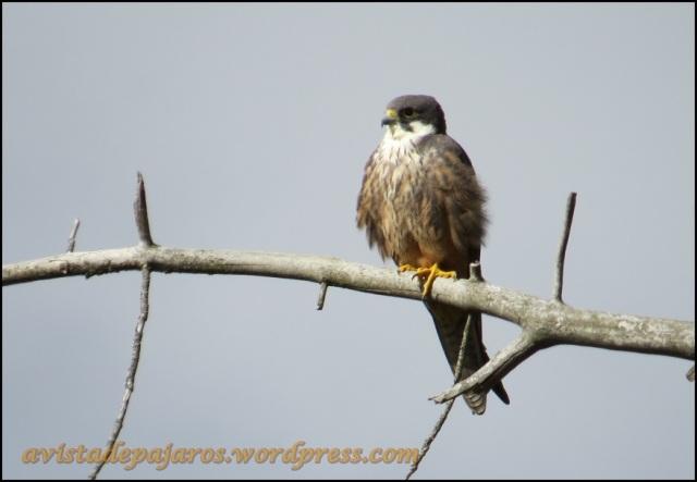 Precioso halcón de Eleonor (23-6-2013)