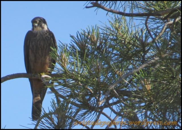 Uno de los halcones observado (29-6-2013)
