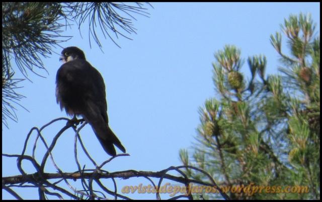 Halcón posado en el pinar (29-6-2013)