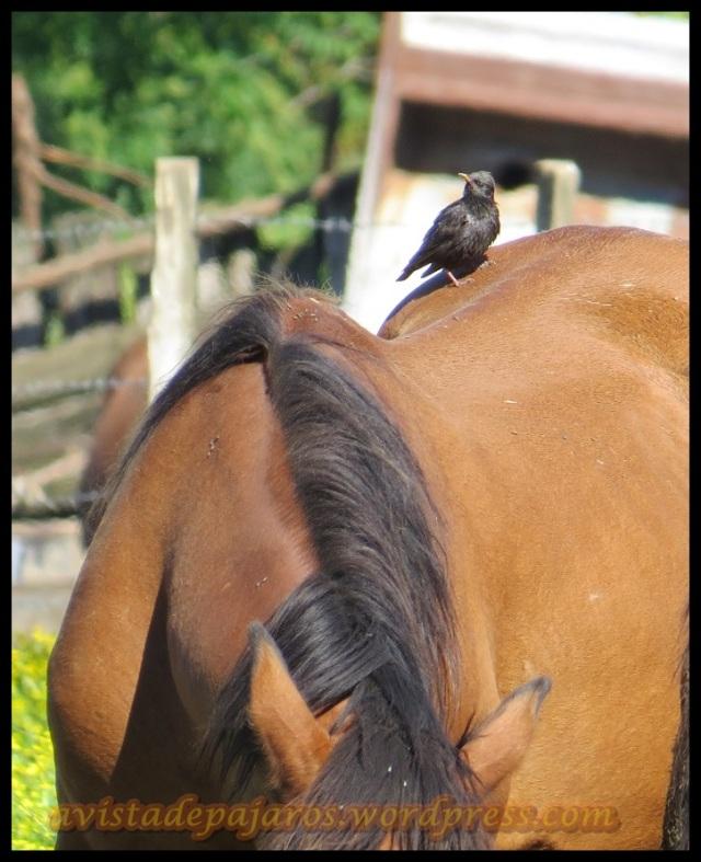 Estornino posado en un caballo (22-6-2013)