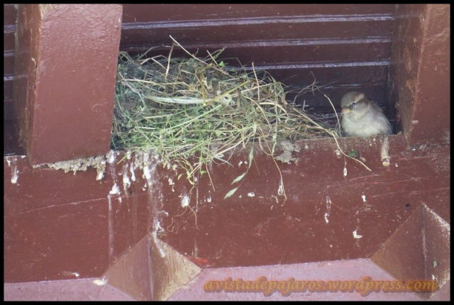 Este gorrioncillo no para de hacer viajes al nido (12-6-2013)