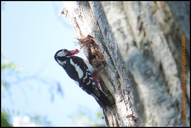 Hembra con larvas (6-6-2013)