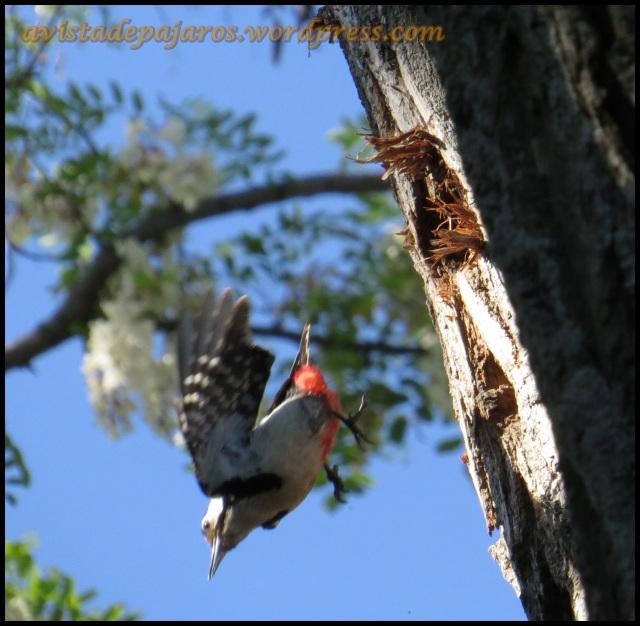 Hembra abandonando el nido (6-6-2013)