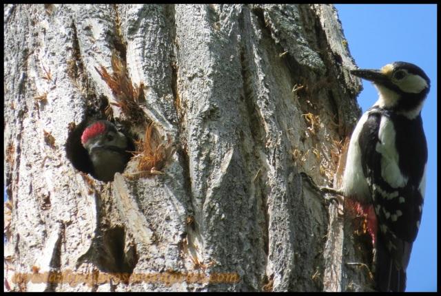 Hembra y el polluelo esperando (11-6-2013)