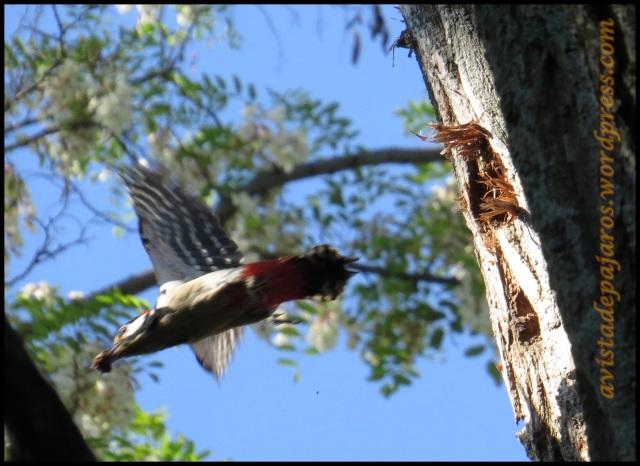 Macho saliendo del nido (6-6-2013)