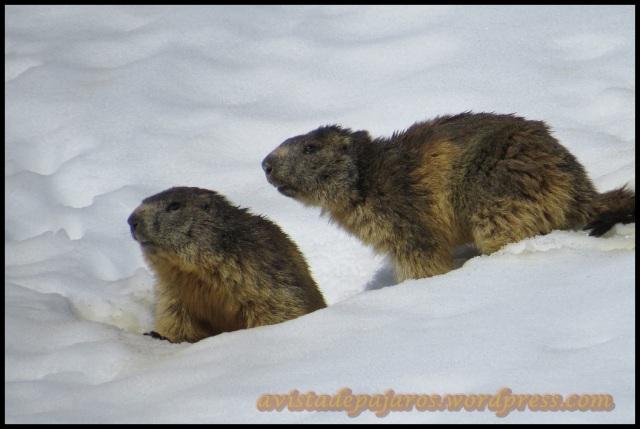 Marmotas (4-6-2013)