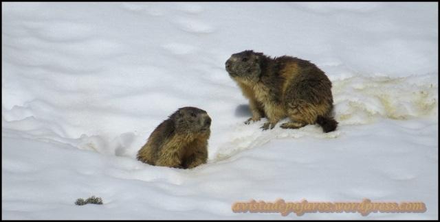 La pareja de marmotas estaba atenta a mis pasos (4-6-2013)