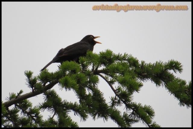 Macho de mirlo cantando en lo alto de un árbol (2-6-2013)