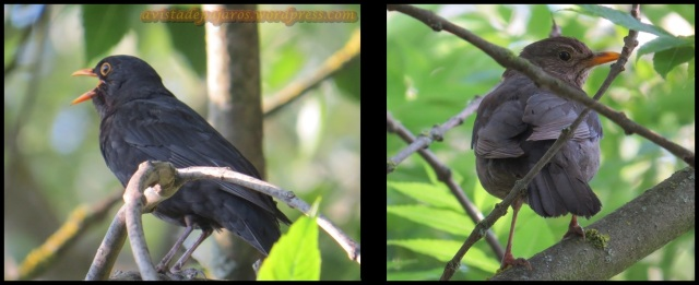 Mirlos, macho a la izquierda y hembra a la derecha (5-6-2013)